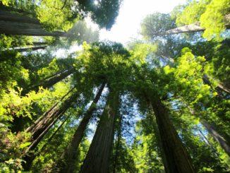 Tallest tree in the world Ψηλότερο δέντρο στον κόσμο
