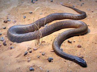 Most Venomous Snake
