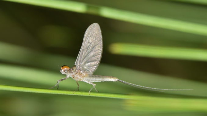 Mayfly One Day